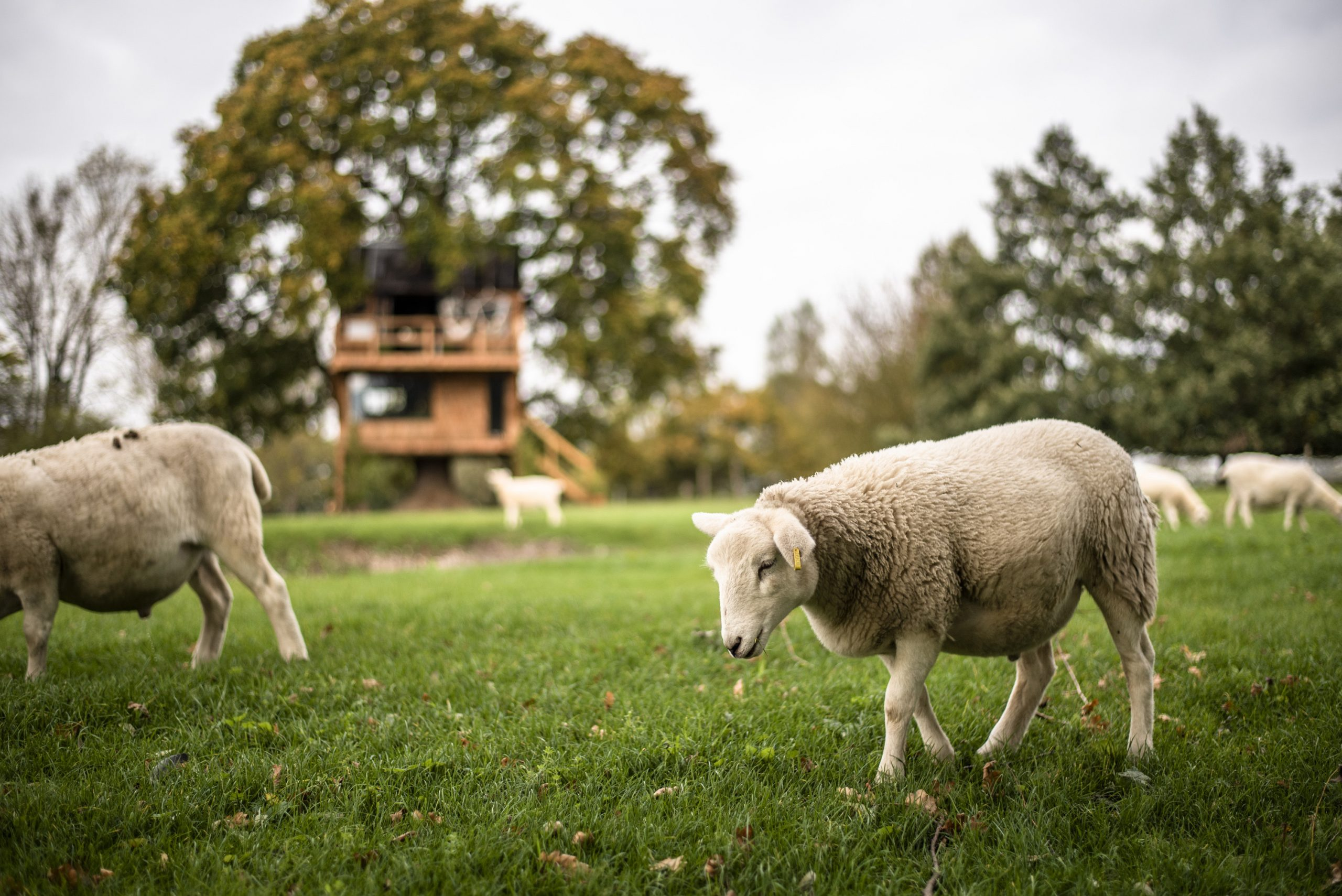 Our family sheep grazing on the meadow outside The Old Oak at Colemans Farm